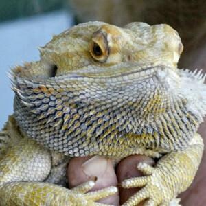 consulta veterinarios dragon barbudo en sevilla