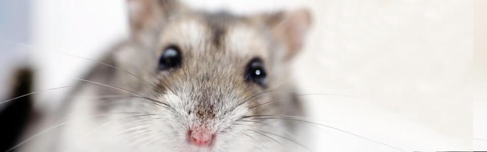 Cuidados veterinarios roedores en sevilla